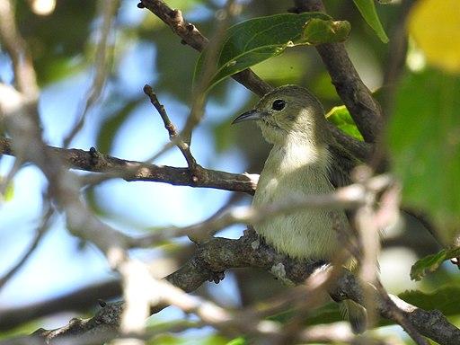 Plain flowerpecker Dampa DSCN3938