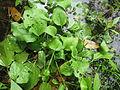 Plantago major plant1 (14756221350).jpg