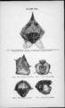 Plate VII - figure 29 to 33 - Descent of man - Charles Darwin.png