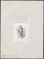 Platycercus cornutus - 1872 - Print - Iconographia Zoologica - Special Collections University of Amsterdam - UBA01 IZ18500011.tif
