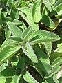 Plectranthus barbatus from Ooty (4).jpg