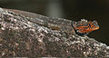 Plica rayi male in breeding coloration - ZooKeys-355-049-g010.jpg
