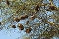 Plocepasser mahali -Nairobi Hill, Nairobi, Nairobi Area, Kenya -nests-8.jpg