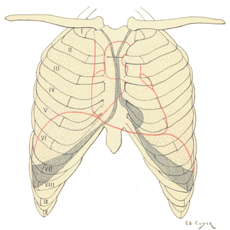 Rib cage - Projection on the thoracic cage of the heart, the lungs and the diaphragm. The shaded areas indicate the extent of the pleural cavities not filled by the lungs.