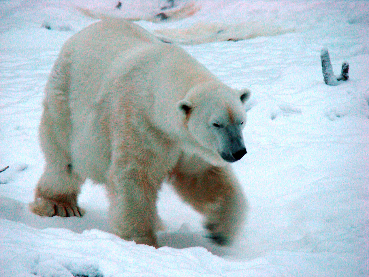 X Five Polar Bear File:Polar bear 5.jpg ...