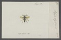 Polistes - Print - Iconographia Zoologica - Special Collections University of Amsterdam - UBAINV0274 044 03 0006.tif