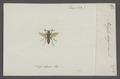 Polistes - Print - Iconographia Zoologica - Special Collections University of Amsterdam - UBAINV0274 044 03 0006.tif