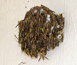 Polistes exclamans - An overpopulated Polistes exclamans nest