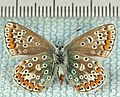 Polyommatus icarus-fu.jpg