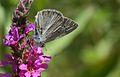 Polyommatus theresiae (Male)- Saimbeyli Mavisi.jpg
