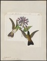 Polytmus niveiventris - 1820-1860 - Print - Iconographia Zoologica - Special Collections University of Amsterdam - UBA01 IZ19100209.tif