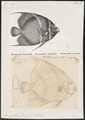 Pomacanthus paru - 1700-1880 - Print - Iconographia Zoologica - Special Collections University of Amsterdam - UBA01 IZ13100255.tif