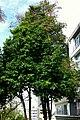 Pomarroso - Pero de agua (Syzygium malaccense) (14408617885).jpg