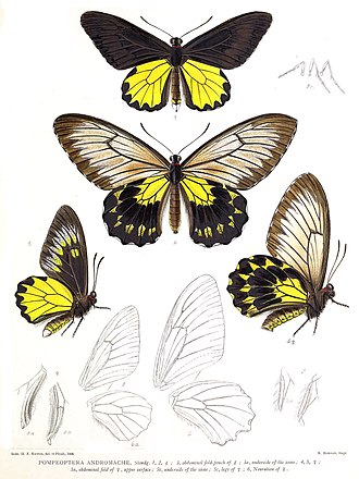 Troides andromache - As Pompeoptera andromache in Robert Henry Fernando Rippon's Icones Ornithopterorum (1898 to 1906)