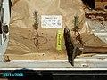Ponderosa pine seedlings ready to be planted (3820686677).jpg