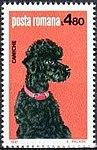 Poodle-Canis-lupus-familiaris Romania 1981.jpg
