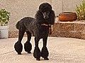 Poodle (8729478594).jpg