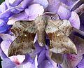 Poplar Hawkmoth. . Laothoe populi. - Flickr - gailhampshire.jpg