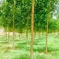 Poplar Trees - panoramio (2).jpg