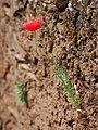 Poppy on the wall (5714277952).jpg