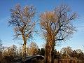 Populus nigra sl4.jpg