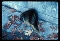 Porcupine on Laughingwater Creek Bridge (Hwy 123?). Dated 111976. slide (7fc26a52c8794d7a808261df4f5da558).jpg