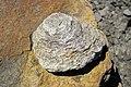 Possible Bergaueria (Vinton Member, Logan Formation, Lower Mississippian; Route 16 roadcut northeast of Frazeysburg, Ohio, USA) 3 (26764574428).jpg
