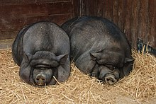 Two fat black pigs sleeping