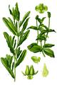 Potamogeton crispus & Potamogeton perfoliatus Thomé-033.png