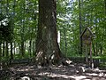 Pozhezhinsky Tsar-oak 04.jpg