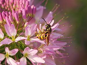 Vespula atropilosa - Prairie yellowjacket pollinating a flower
