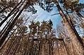 Primeval Pine Grove - Park in Little Falls, Minnesota (27757109968).jpg