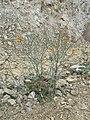 Probably invasive, brassicaceae - Flickr - theforestprimeval.jpg