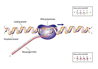 Bacterial transcription - Transcription is the process of copying DNA into RNA, usually mRNA.