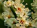 Prunus laurocerasus - Blüten der Lorbeerkirsche.jpg