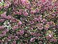 Prunus pink cherry blossom at West Green, Tottenham, London 1.jpg