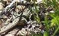 Psammodromus hispanicus (32367293270).jpg
