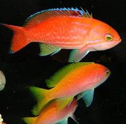 Pseudanthias bimaculatus