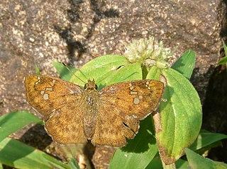 <i>Pseudocoladenia dan</i> species of insect