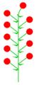 Pseudoterminalblüte (inflorescence).PNG