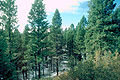 Pseudotsuga glauca forest.jpg