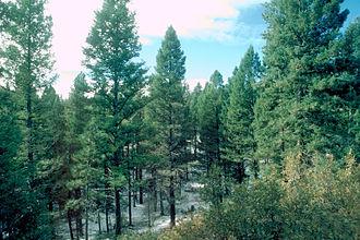 Pseudotsuga menziesii var. glauca - Rocky Mountain Douglas-fir forest in Colorado
