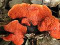 Pycnoporus cinnabarinus 02.jpg
