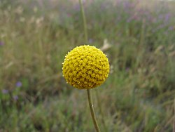 Pycnosorus globosus flowerhead1 (17796565360).jpg