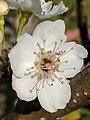 Pyrus pyrifolia (Raja) blossom6.jpg
