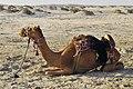 Qatar, camellos 2.jpg