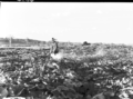 Queensland State Archives 1758 Fodder crops and conservation South East Queensland March 1955.png