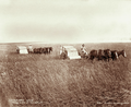 Queensland State Archives 3929 Strippers harvesting wheat Canning Downs Station near Warwick 16 November 1894.png