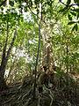 Quercus miyagii.JPG