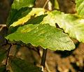 Quercus trojana (11).JPG